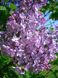 Lilac Sunday at Arnold Arboretum