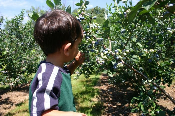Blueberry Picking Near Boston with kids