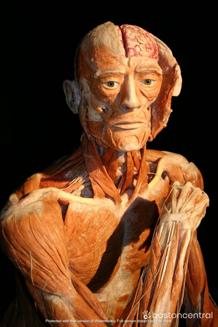 Body Worlds The Cycle Of Life Exhibit
