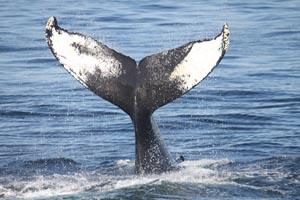 cape ann whale watch photo