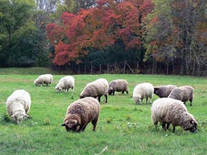 Cancelled Woolapalooza At Mass Audubon S Drumlin Farm 2020 Tips Local Guide