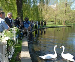 return of the swans to the public garden lagoon photo