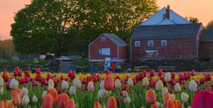 wicked tulips flower farm virtual tulip experience photo