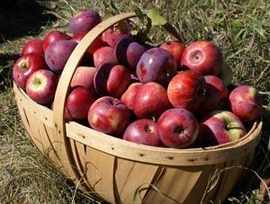 boxford apple festival photo
