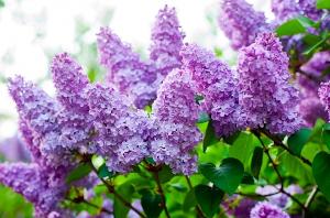 visit the lilacs at arnold arboretum photo