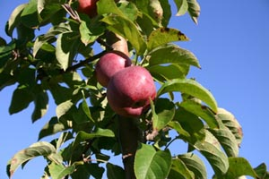 apple picking guide massachusetts photo