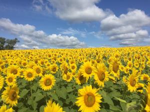 colby sunflower farm photo