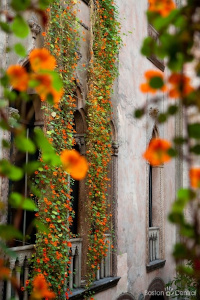 hanging nasturtiums at isabella gardner museum photo