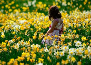 field of daffodils at tower hill botanical photo