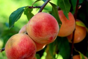 smolak farms peach festival photo