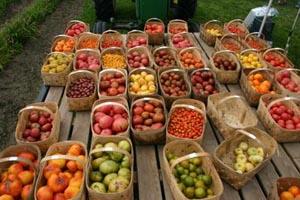 verrill farm corn  tomato festival photo
